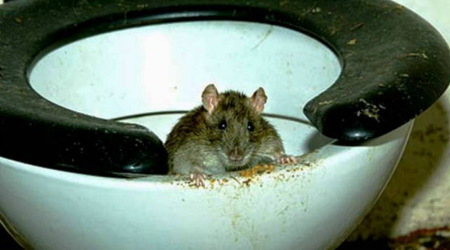 Disturbing video shows how rats can swim up your toilet | DailyPedia