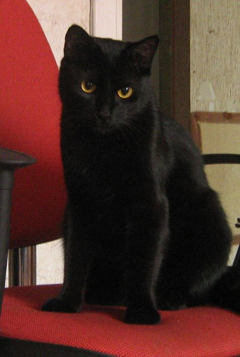 Longtime good and bad superstitions about black cats ...
